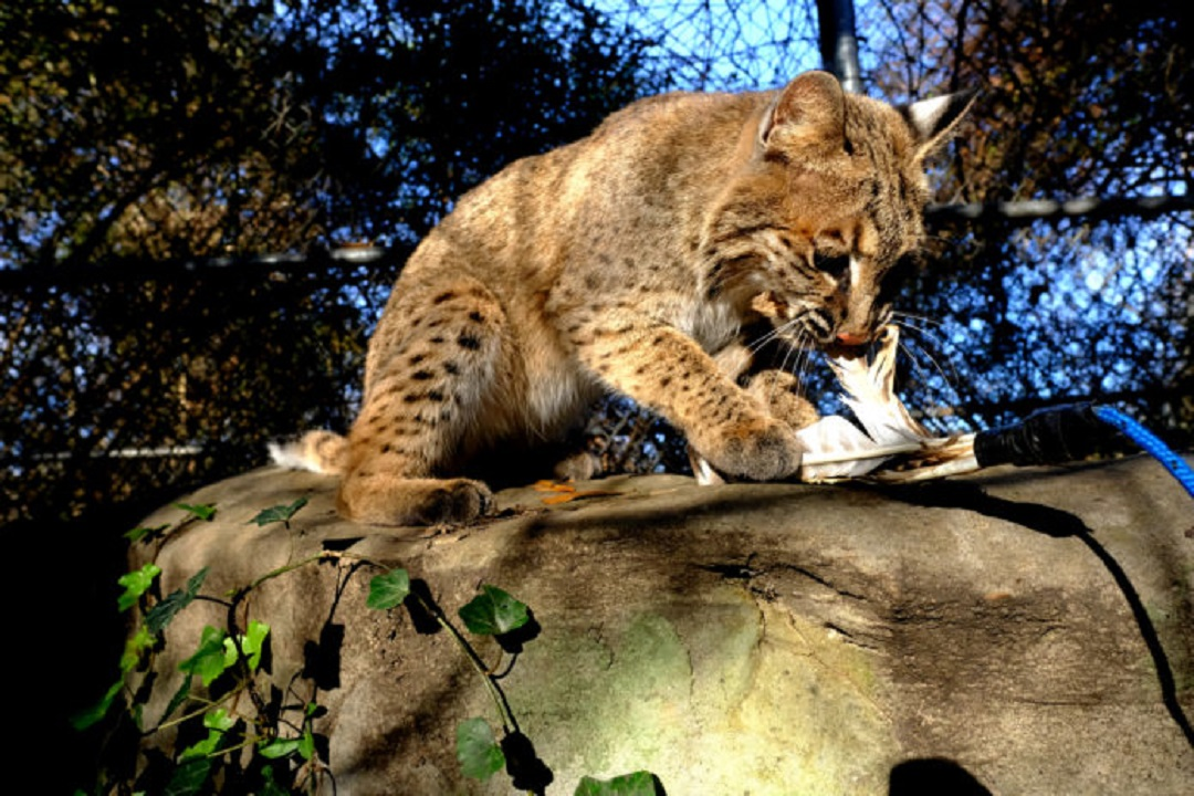 Missing bobcat returns to Tennessee nature center enclosure - WVLT.TV