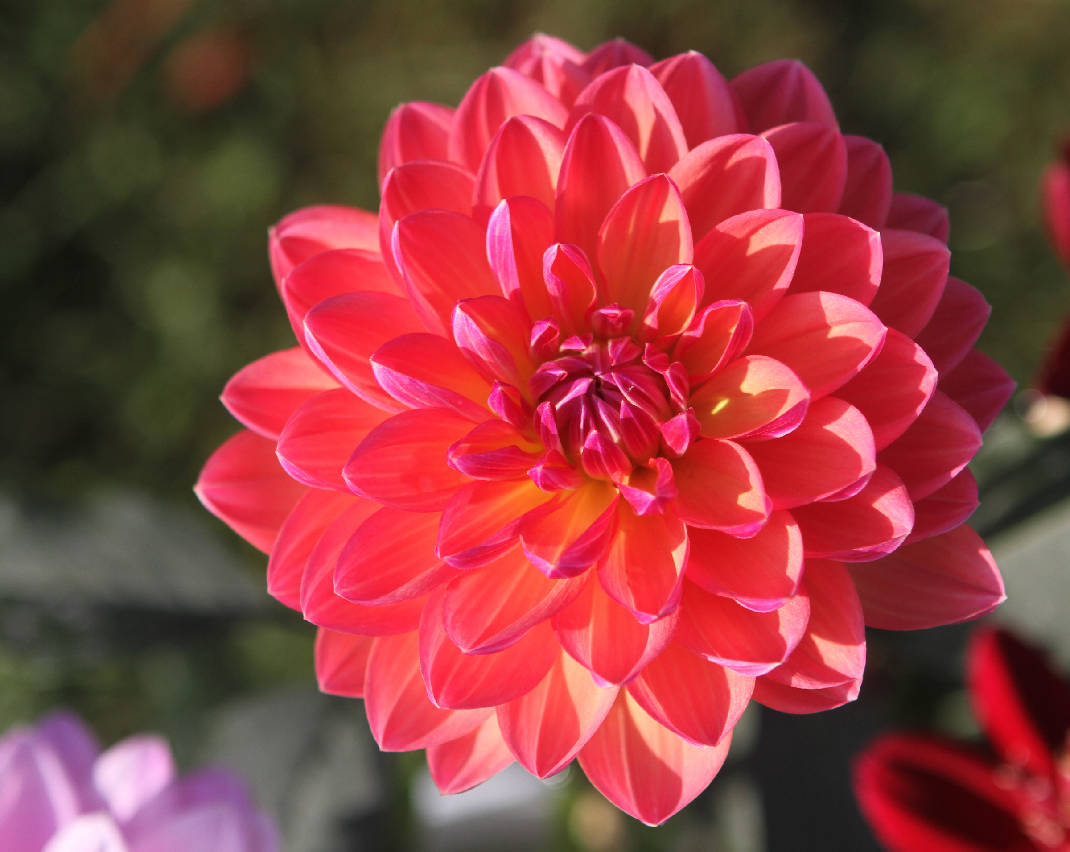 Dazzling dahlias on display at Eastgate this weekend - Chattanooga Times Free Press