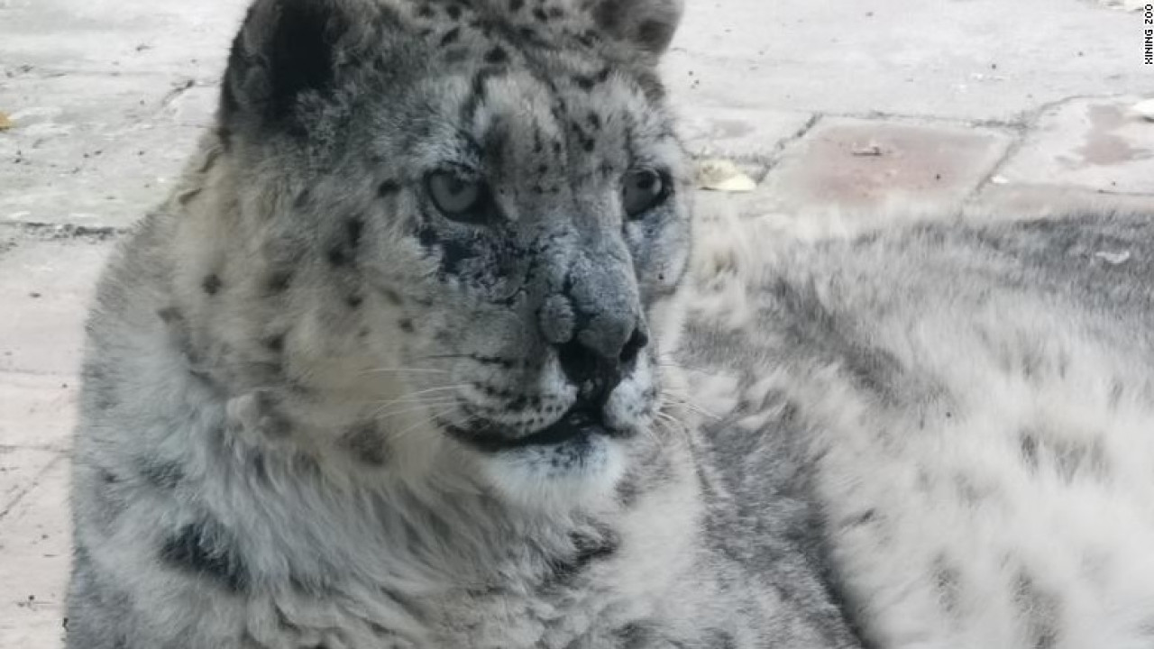Snow leopard's vision restored after world-first cataract surgery - RochesterFirst